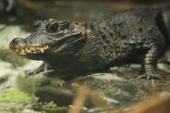 Dwarf crocodile. The upper body of dwarf crocodile Stock Photography