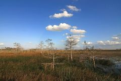 Dwarf Cypress Trees in Everglades National Park. Dwarf Cypress Trees the sawgrass prairie of Everglades National Park, Florida royalty free stock photography