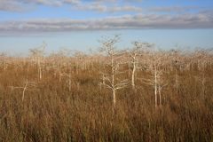 Dwarf Cypress Trees in Everglades National Park. Dwarf Cypress Trees the sawgrass prairie of Everglades National Park, Florida stock photo