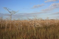 Dwarf Cypress Trees in Everglades National Park. Dwarf Cypress Trees the sawgrass prairie of Everglades National Park, Florida stock images