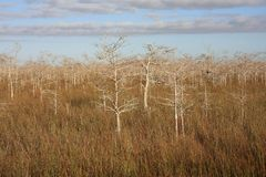 Dwarf Cypress Trees in Everglades National Park. Dwarf Cypress Trees the sawgrass prairie of Everglades National Park, Florida stock photography