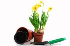 Dwarf daffodils in pot. Spring dwarf daffodils in pot Royalty Free Stock Photos