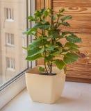 Dwarf dahlia in a flowerpot on the window Stock Photo