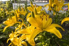 Dwarf day lilies Yellow flowers in green summer garden stock images