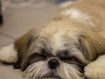 Dwarf dog. Trained dog. Soft focus. Little black-brown dog Shih Tzu is lying on the sofa. Trained dog. Soft focus royalty free stock photography