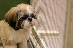 Dwarf dog. Trained dog. Soft focus. Little white-brown Shih Tzu dog. Trained dog. Soft focus stock images