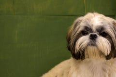 Dwarf dog. Trained dog. Soft focus. Little white-brown Shih Tzu dog. Trained dog. Soft focus royalty free stock photography