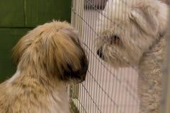 Dwarf dog. Trained dog. Soft focus. Little white-brown Shih Tzu dog. Trained dog. Soft focus royalty free stock images