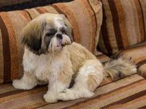 Dwarf dog. Trained dog. Soft focus. Little white-brown Shih Tzu dog. Trained dog. Soft focus stock image