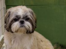 Dwarf dog. Trained dog. Soft focus. Little white-brown Shih Tzu dog. Trained dog. Soft focus stock photography