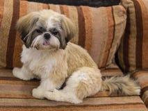 Dwarf dog. Trained dog. Soft focus. Little white-brown Shih Tzu dog. Trained dog. Soft focus royalty free stock image