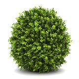 Dwarf english boxwood isolated on white