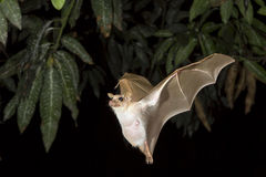 Dwarf epauletted fruit bat (Micropteropus pussilus) flying. Royalty Free Stock Image