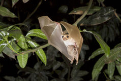 Dwarf epauletted fruit bat (Micropteropus pussilus) flying with a baby on the belly. Ghana Royalty Free Stock Photography