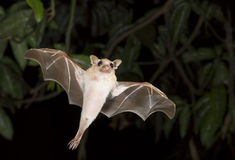 Dwarf epauletted fruit bat (Micropteropus pussilus) flying. Royalty Free Stock Images