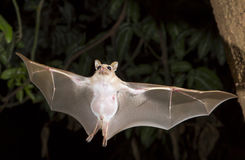Dwarf epauletted fruit bat (Micropteropus pussilus) flying. Stock Photo