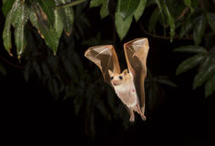 Dwarf epauletted fruit bat (Micropteropus pussilus) flying at night. Royalty Free Stock Photos