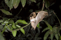 Dwarf Epauletted Fruit Bat (Micropteropus Pussilus) Flying With A Baby On The Belly. Royalty Free Stock Photo