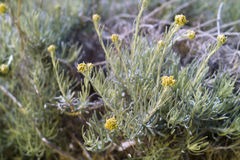 Dwarf everlast or Immortelle (Helichrysum arenarium) Royalty Free Stock Images