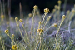Dwarf everlast or Immortelle (Helichrysum arenarium) Royalty Free Stock Photography