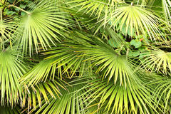 Dwarf Fan Palm (Chamaerops humilis) leaves as background.  Royalty Free Stock Images