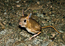 Dwarf Fat-tailed Jerboa (Pygeretmus pumilio) Stock Photos
