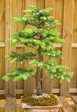 Dwarf fir tree Royalty Free Stock Photography