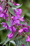 Dwarf Fireweed Royalty Free Stock Photography