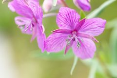 Dwarf Fireweed Flower. Narrow focus image of the anther and pollen of a Dwarf Fireweed plant Stock Image
