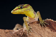 Dwarf forest daygecko Stock Photos