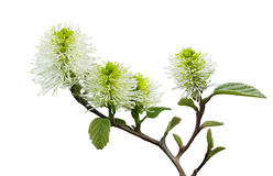 Dwarf fothergilla Flower Stock Images