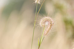 Dwarf Foxtail Grass Royalty Free Stock Photography