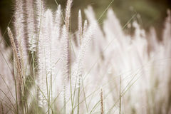 Dwarf Foxtail Grass or Pennisetum alopecuroides weed Stock Photography