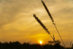 Dwarf Foxtail Grass or Pennisetum flowers in summer sunset. Dwarf Foxtail Grass or Pennisetum alopecuroides weed plants flowers in summer sunset stock images