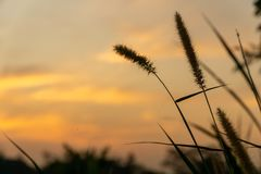 Dwarf Foxtail Grass or Pennisetum flowers in summer sunset. Dwarf Foxtail Grass or Pennisetum alopecuroides weed plants flowers in summer sunset royalty free stock images