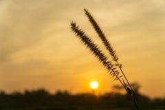 Dwarf Foxtail Grass or Pennisetum flowers in summer sunset. Dwarf Foxtail Grass or Pennisetum alopecuroides weed plants flowers in summer sunset stock photos