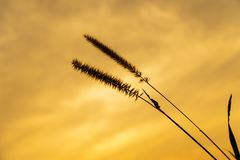 Dwarf Foxtail Grass or Pennisetum flowers in summer sunset. Dwarf Foxtail Grass or Pennisetum alopecuroides weed plants flowers in summer sunset royalty free stock photos