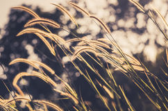 Dwarf Foxtail Grass vintage Royalty Free Stock Photo