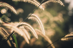 Dwarf Foxtail Grass vintage Royalty Free Stock Photography