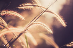 Dwarf Foxtail Grass vintage Royalty Free Stock Photos