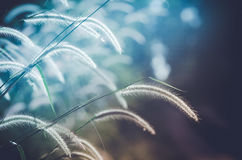 Dwarf Foxtail Grass vintage. Dwarf Foxtail Grass or Pennisetum alopecuroides weed plants flowers vintage stock photo