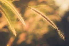 Dwarf Foxtail Grass vintage Royalty Free Stock Photo