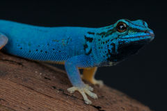 Electric Blue gecko Royalty Free Stock Photography