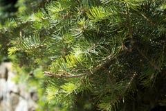 Dwarf Globe Scots Pine Pinus sylvestris Globosa Nana evergreen shrub. Green needles with drops of rain. Macro. The Dwarf Globe Scots Pine Pinus sylvestris royalty free stock photography