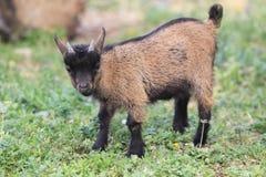 Dwarf goat Stock Image