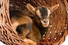 Dwarf goat in basket Stock Images