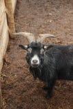 Dwarf goat Royalty Free Stock Photo