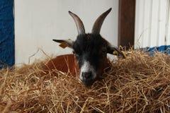 Dwarf goat Stock Photography