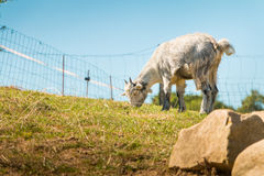Dwarf goat grazing in a green meadow Stock Images