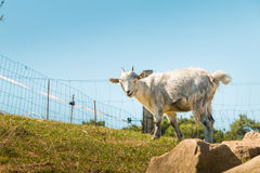 Dwarf goat grazing in a green meadow Royalty Free Stock Photography